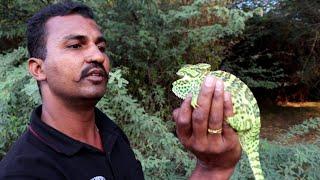 Download क्या रंग बदलू गिरगिट के फूंक मारने से आंख चली जाती है   Chameleon lizard, Non venomous Video