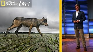 Download A Quest to Find Canada's Elusive Coastal Wolf | Nat Geo Live Video