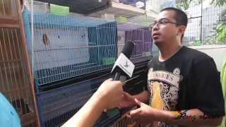 Download Ternak Kenari Juara Sistem Baterai Milik Nova NF2IS - Ronggolawe Video