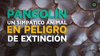 Download Pangolín, un curioso animal en peligro de extinción Video