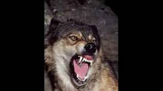 Download Wolf Sounds 2 *Growling* Video