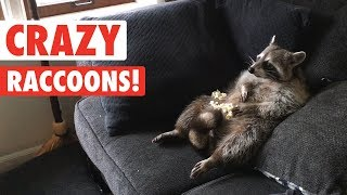 Download Raccoons Are Just Weird Cats | Crazy Raccoon Compilation 2017 Video