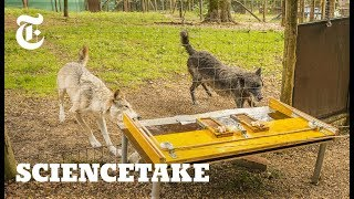 Download Wolves Know How to Work Together | ScienceTake Video