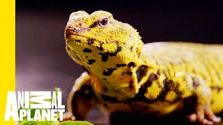 Download This Yellow Lizard is Called The Uromastyx | Scaled Video