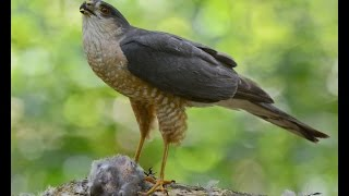 Download Sharp-shinned Hawk Plucking with Calls - Long Sequence Video