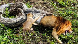 Download Python is too aggressive, Lion Cub mistakes when challenged - The result of Lion Cub Video