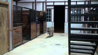 Download Nightly Cold Weather Parade Into the Barn...3 Horses - 1 Donkey Video