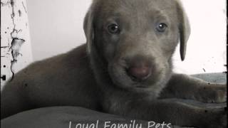 Download Silver and Charcoal Labrador Puppies For Sale Video