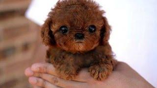 Download Top 10 Miniature Dog Breeds Video