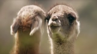 Download Brutal Guanaco fight for dominance | Wild Patagonia | BBC Earth Video