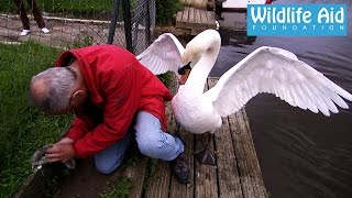 Download Cygnet rescue - Simon beaten up by an angry swan Video