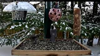 Download Gray Jay Gives Attention to Ladybug Feeder – Dec. 5, 2106 Video