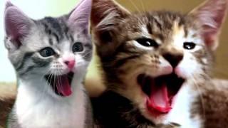 Download CATS SCREAM YAWNS Video