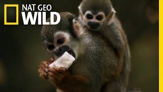 Download Squirrel Monkey Business   Amazon Underworld Video