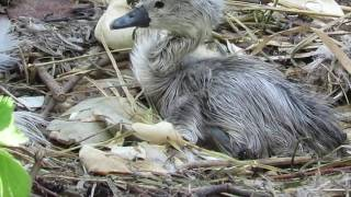 Download ″Have you seen my mummy?″ The baby swan who got left behind. Video