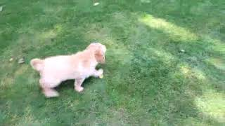 Download Miniature Labradoodle Puppies For Sale Melvin Glick Video