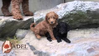 Download Mini labradoodle puppies at Adorable Down East Labradoodles! Video