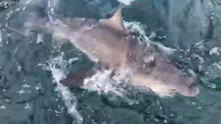 Download Huge Sharks with BlackTipH - LIVE Video