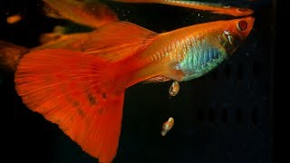 Download When A Guppy Fish Having Babies Video