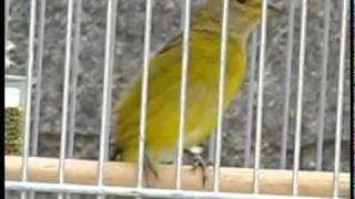 Download Sabugo - Filhote de Canário da Terra Video