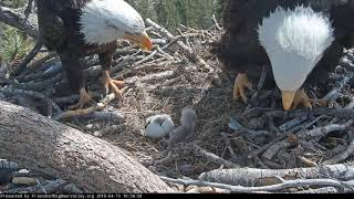 Download 04-15-19 Big Bear Lake eagles; Shadow sees baby #2 for the first time. Video