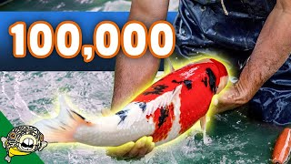 Download $100,000 Koi Fish Unboxing! Over 50 Boxes of Koi! Beautiful Big Koi. Video