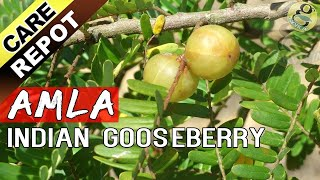 Download AMLA - How to grow and care Amla tree or Indian Gooseberry plant | Garden Tips in English Video