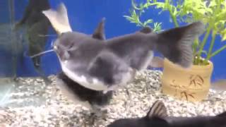 Download Cat fish swallows another fish the same size Video