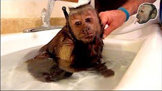 Download Capuchin Monkey Hot Relaxing Bath! Video