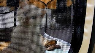 Download 初対面の仔猫に母ちゃんを独り占めされてしまった猫!~イジケた猫が母ちゃんを取り戻すぞ~❤と意気込み… -3 Weeks Old Kitten And 7 Years Old Cat Video
