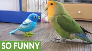 Download Curious parrot fascinated by mechanical bird Video