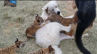 Download Two more tiger cubs! Video