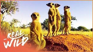 Download Kalahari Meerkats: Meet The Gosa Gang !   Real Wild Video