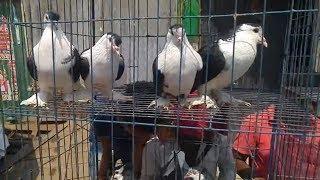Download সিরাজির দাম কত / Siraji pigeon price in Bangladesh / Latest kobutor video Video