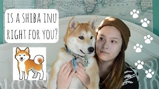 Download Is A Shiba Inu Right For You? Video