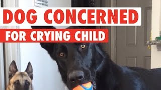 Download German Shepherd Has Hilarious Reaction To Crying Baby Video
