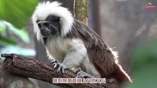 Download 棉頭絹猴情侶甜密密 穿山甲館隨時大放閃 Video