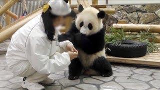 Download 【子パンダ✨】🐼結浜のミルクタイム🎀🍼✨【ノーカット♪】 Giant Panda -Yuihin-☆Milk Time♪ Video