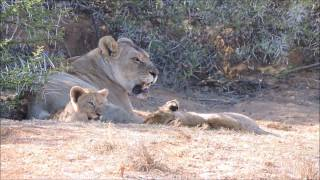 Download Grumpy lioness with cubs Video