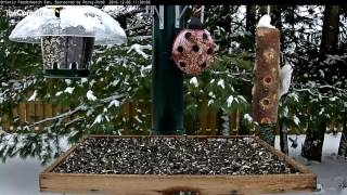 Download Hairy Woodpecker - Ontario - Dec. 6, 2016 Video