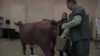 Download Veterinary Simulator Industries Hereford dystocia simulator Video