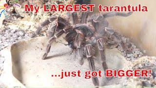 Download Zelda Moult & Feeding + Evil Beetle needs SQUASHING Video