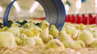 Download Take the Bell & Evans Broiler Farm Tour Video