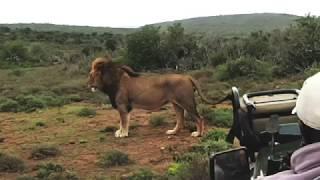 Download Lion Pride Take-Over Kruger Park Video