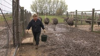 Download Ostrich Farmer Helen Wall, Alden, Iowa Video