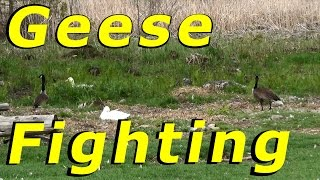 Download Canada Geese Fighting In The Yard #30 Hatching Duck & Goose Eggs Video