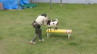 Download 飼育員さんに遊んでもらう子ヤギのクッキー   天王寺動物園のヤギ Video