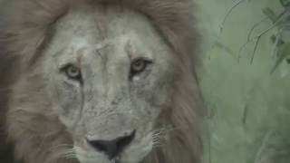 Download Killing of lion cubs by adult male lions - Warning Graphic Content Video