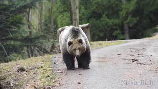 Download bear vs motorcycle Video