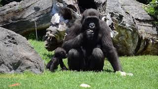 Download BIOdías 2018 y los proyectos de conservación de gorilas y chimpancés (Fundación BIOPARC) Video